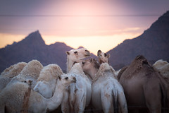 Camels get Together (FARES AL-SHAMMARY) Tags: camels saudiarabia desert sunset light hail countryside life