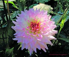 Dahlia Flower (rumerbob) Tags: flower floral flowergarden nature longwoodgardens canon7dmarkii canon100mmmacrolens macro macroflower macrophotography dahlia