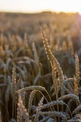 DSC_1218 (Marlon Fried) Tags: bokeh getreide cereals weizen wheat grain crops field