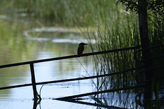 The silhouette of a classic rivier bird (Kentish Plumber) Tags: nature kent wildlife reserve visitorcentre kwt nbw boughbeech kentwildlifetrust