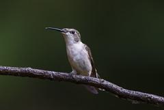 Deformed Hummingbird female (Peter Stahl Photography) Tags: deformed hummingbird rubythroatedhummingbird female islelake