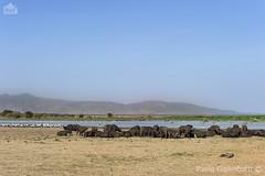 Bufali africani (Syncerus caffer) e Tantali (Mycteria ibis). African Buffalos and Yellow-billed Storks (paolo.gislimberti) Tags: tanzania ngorongoro africanmammals africanparks africanbirds africanlandscapes parchiafricani paesaggiafricani mammiferiafricani uccelliafricani animaliambientati animalsintheirenvironments savana savannah wildlife