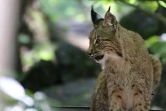 Luchs (c4harry) Tags: chattengau edersee wildtierpark kellerwald wald kosystem luchs