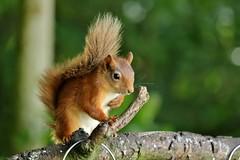 a new visitor................ (Suzie Noble) Tags: squirrel redsquirrel mammal tree nuts peanuts hazelnuts garden strathglass struy sunflowerseeds