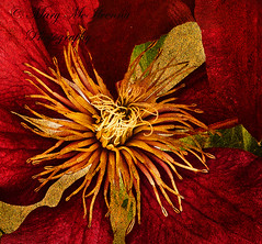 Clematis 'Niobe' (Mary McIlvenna Photography) Tags: clematis flora niobe macro floralart red