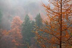 Lochside Mist (stephenb19) Tags: 2015 autumn pitlochry winter loch faskally damp mist fog air scotland scottish larch autumnal wood woodland rain droplets dense needles deciduous orange brown focus