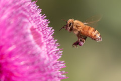 IMG_6669 (ben.roberts999) Tags: flower flying honeybee insect nv reno usa wildlife inflight macro