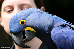 234A7582.jpg (Mark Dumont) Tags: birds blue cincinnati dumont hyacinth macaw mark wow zoo