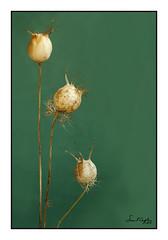 Still Life with 'Love in a Mist' Seedheads #1 (Simon Caplan) Tags: seedhead seedpod nigella loveinamist stilllife macro art tabletopphotography