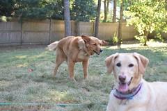 DSC_0191 (ghoulia) Tags: goldendoodle goldenretriever poodle labradoodle labrador rovercom dogvacay