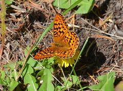 Callippe Fritillary, Speyeria callippe calgariana (vietnamvera) Tags: canadianbutterflies butterfliesofcanada canadianlepidoptera canadaflorafauna canadianrockies canadianrockymountains