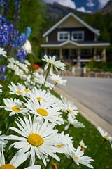 Daisies in Bloom (Erik Pronske) Tags: canadianrockies rockymountains mountains blooms canada yohonationalpark britishcolumbia bloom daisy field ca