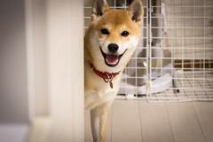 Yotsuba365 Day94 (Tetsuo41) Tags: dog shibainu yotsuba