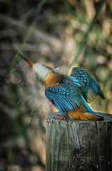 remoli (Josep M.Toset) Tags: animalia aus alcedinidae alcedo blau catalunya d7100 nikon fauna josepmtoset coraciiformes chordata ribera·debre ocells ocell·aquàtic aerodinàmic blauet moixó
