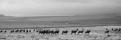 South african sheep (Paolo_Monti) Tags: bw southafrica sheep em1 blackwhite bianconero blancoynegro noiretblanc