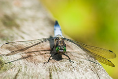 Schau mir in die Augen, Kleines (Jana Duwensee) Tags: blaupfeil segellibelle libelle blau flügel dragonfly dragon fly fliegen garten garden home sommer summer natur nature outdoor tier tiere animals ngc insekt insect dorsten 2016 august nikon d80 tamron 70300 holz wildlife augen eyes beautiful green grün