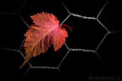 L is for Leaf (SkyeWeasel) Tags: macromondays beginswiththefirstletterofmyname macro leaf blackbackground chickenwire paintingwithlight