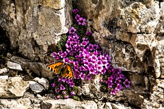 Beauty among the bleakness. (AlbOst) Tags: butterflies flowers alpineflowers mountainflowers dolomites tortoiseshell purplesaxifrage rock scree snow