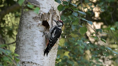 Great Spotted Woodpecker (Full Moon Images) Tags: rspb sandy lodge thelodge wildlife nature reserve bedfordshire bird great spotted woodpecker