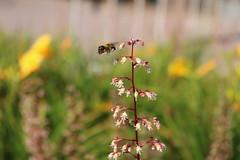 THE BEE (davidrtjowett) Tags: flower bee park liverpool