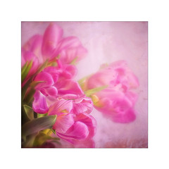 Pink Wednesday (BirgittaSjostedt) Tags: tulip flower card textured paint greetings texture unique art birgittasjostedt magicunicornverybest pastel photoborder petal plant serene ~themagicofcolours~x