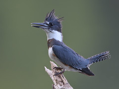 Belted Kingfisher (asparks306) Tags: