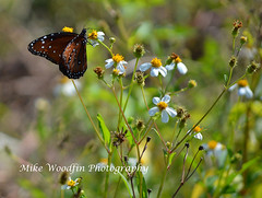 Queen Monarch (Mike Woodfin) Tags: mikewoodfin mikewoodfinphotography photo picture photography photograph photos photoshop pretty park nature country countryart art butterfly bee flower flowers nikon canon contrast color fuji florida fl floral