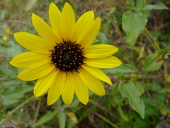 Prairie Sunflower (Dendroica cerulea) Tags: prairiesunflower helianthuspetiolaris helianthus heliantheae asteroideae asteraceae asterales plant flower yellow sunflower bioblitz2016 nationalparksbioblitz2016 nps100 sandyhookbioblitz2016 sandyhookbioblitz bioblitz autumn sandyhook gatewaynationalrecreationarea monmouthcounty nj newjersey