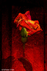 Untitled rose 3 (R-Pe) Tags: rpe www1764org 1764org 1764 camera canon nikon sony ausstellung show exhibition gift geschenk bild pic picture foto photo photographie fotografie rbi peter abstract melancholie aufnahme
