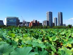 #8832 lotus pond () (Nemo's great uncle) Tags:    nelumbonaceae  lotus nelumbonucifera nelumbo nucifera flora flower  shinobazu  shinobazupond ueno  taitku  tky