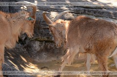 Defending the Water (ficktionphotography) Tags: animal australia mammal sparring sydney tahr tarongazoo zoophotography himalayantahr