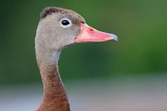 Blackbelly Whistling Duck-8920 (Don Burkett) Tags: 100400mii animal birds blackbellywhistlingduck canon dlsr donburkett ef100400f4556liiusm fauna florida nature outdoor southflorida wakodahatcheewetlands wildlife dtburkett