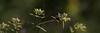 Beetle Beauty (harefoot1066) Tags: coleoptera polyphaga elateriformia buprestoidea metallicwoodboringbeetle buprestidae polycestinae acmaeoderini acmaeoderina acmaeodora acmaeodoramixta euphorbiaceae euphorbia chamaesyce euphorbiahyssopifolia hyssopleafsandmat