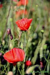 Les coqueliots rouges (Barnie76@ ,) Tags: coquelicots pavots champs nature eure rouge canon60d