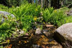 Lehamite Creek Garden (au_ears) Tags: whitewaterbuttercup california creek ferns yosemite cowparsnip water snowcreektrail flowers broadleavedlupine 2016 sierraragwort trees lehamitecreek yosemitevalley