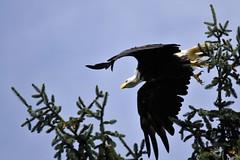 Weikopf-Seeadler (2), NGIDn1889007876 (naturgucker.de) Tags: ngidn1889007876 naturguckerde weiskopfseeadler porthardyrvresort chermannklee