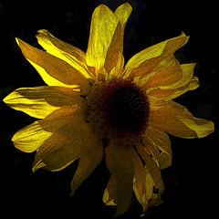 Variations on a theme / Variazione sul tema (Giorgio Ghezzi) Tags: sunflower girasole giorgioghezzi closeup primopiano