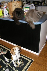 145/365/1606 (November 3, 2012) - Our Pets at Attention (cseeman) Tags: cats pets beagle dogs kitchen wanda counter friendship harmony cosmo catsanddogs flapjack project365 2012project365coreys