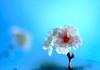 Cherry Blossoms in Autumn:「永遠」 (love_child_kyoto) Tags: autumn kyoto 京都 桜 cherryblossoms myfavorite さくら サクラ 狂い咲き 秋桜 herecomesthesun flowerlover masterphotos 京都府立植物園 artisticflowers takenwithlove lovelyflickr マスター写真 小柳ゆき thegoldenachievement コブクサクラ 「永遠」 takenwithhardwork lovelynewflickr pandaonflickr
