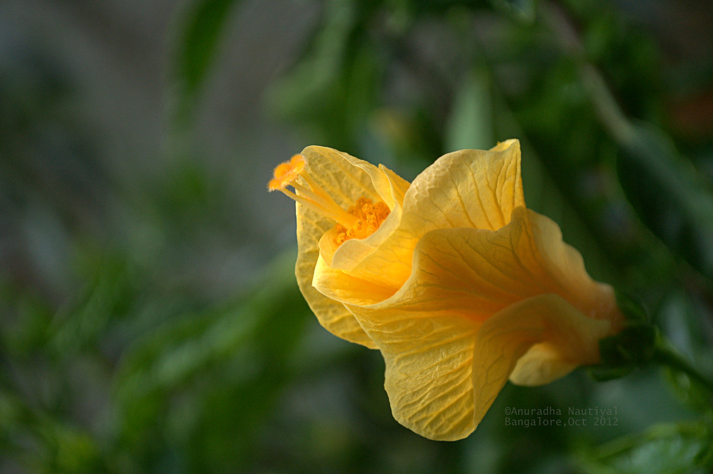 The Worlds Best Photos Of Hibiscus And Karnataka Flickr Hive Mind
