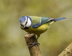 _MG_0027 Blue Tit (Cyanistes caeruleus), Whitacre Heath, Warwickshire 08Nov12 (Lathers) Tags: bluetit warwickshire cyanistescaeruleus canon7d whitacreheath 08nov12 canonef500f4lisusm wkwt