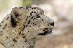 Side Profile (Cloudtail the Snow Leopard) Tags: cat zoo bigcat katze assam karlsruhe snowleopard panthera raubkatze schneeleopard irbis uncia groskatze flickrbigcats