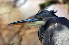J77A0112 -- Blue Heron with nice hairstyle (Nils Axel Braathen -- Thanks a lot for +200K views) Tags: france heron nature birds canon wildlife blueheron fugler oiseaux levsinet hegre vogeln mygearandme mygearandmepremium mygearandmebronze mygearandmesilver mygearandmegold rememberthatmomentlevel1 rememberthatmomentlevel2 rememberthatmomentlevel3 onlythebestofflickr vigilantphotographersunite vpu2 vpu3 vpu4 vpu5 vpu6 vpu7 vpu8 vpu9 vpu10