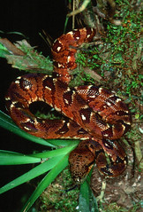 Madagascar Tree Boa (Sanzinia madagascariensis) (cowyeow) Tags: africa red baby tree nature bronze reptile snake african wildlife small young boa juvenile snakes madagascar herp reptiles herps reddish herpetology constrictor andasibe treesnake treeboa madagascariensis herping sanziniamadagascariensis snakehunting sanzinia
