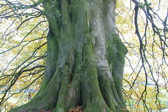Ancient beech, Lewesdon (Stoutcob) Tags: lewesdon