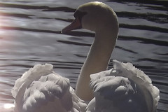 Enjoying the autumn sunshine (Ang1852) Tags: swan autumnsun dintonpastures