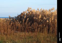 Phragmites australis (Canys/Carrizo/Common reed) - 2 (e_velo ()) Tags: autumn naturaleza nature natura olympus otoo catalunya garraf tardor 2011 e620 botiguesdesitges floradelaplatja