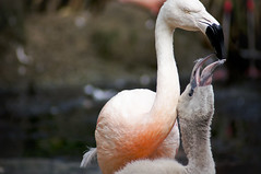 Young Flamingo B (larryn2009) Tags: california bird fall animal zoo sandiego flamingo unitedstatesofamerica september phoenicopterusruber 2012 sandiegocounty americanflamingo sandiegosafaripark