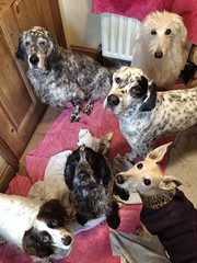 The Drying Room! (Penelope Malby Photography) Tags: dog dogs pointer canine surrey spaniel cockerspaniel dogphotography lurcher lowerkingswood whippetcross penelopemalbyphotography