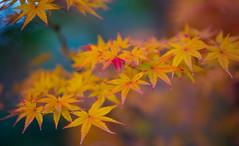 Orange Universe (Redcup2) Tags: autumn orange macro tree green nature leaves japan canon japanese golden leaf maple colorful bokeh momiji canon5d fukuoka multicolor kyushu dazaifu canonef10028 canon5dmarkii mygearandme mygearandmepremium
